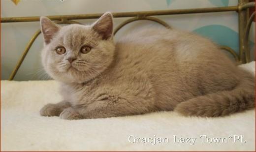 Liliowy kocurek brytyjski GOTOWY DO ODBIORU  kocięta brytyjskie WCF   mazowieckie Grójec