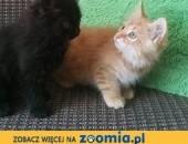 koty perskie , pers , persy , okazja !,  dolnośląskie Oława