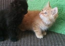 koty perskie   pers   persy   okazja !   dolnośląskie Oława