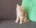 'koty perskie , pers , persy , okazja !,  dolnośląskie Oława