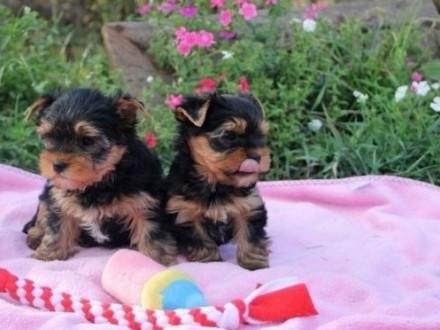 Yorkshire Terrier mini piesek