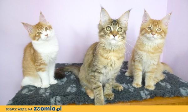 Trzy piękne, zdrowe i rozmruczane koteczki Maine Coon
