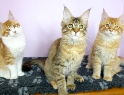 Trzy piękne  zdrowe i rozmruczane koteczki Maine Coon