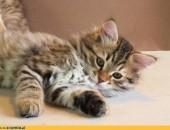 Ayama koteczka syberyjska              Rodowód