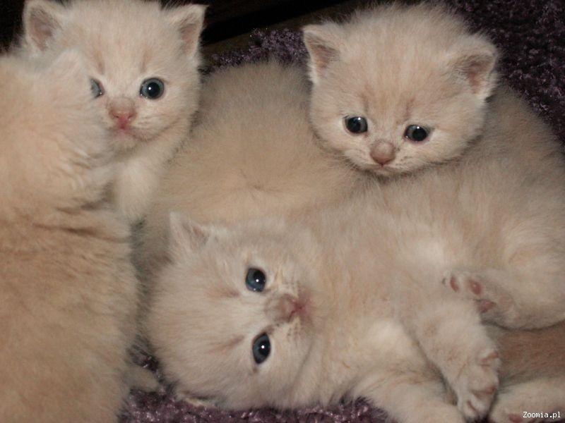Kremowe Kocięta Brytyjskie Krótkowłose Z Rodowodem Brytyjski