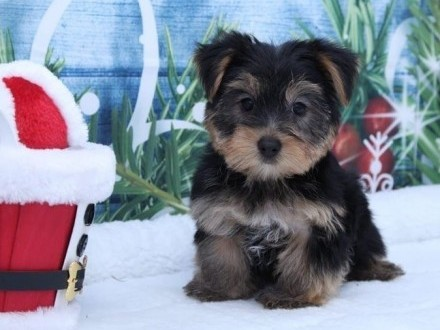 Yorkshire terrier miniaturka