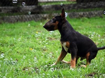 Pies szczenie miniaturowy bulterier mini bull FCI ZKwP rodowód