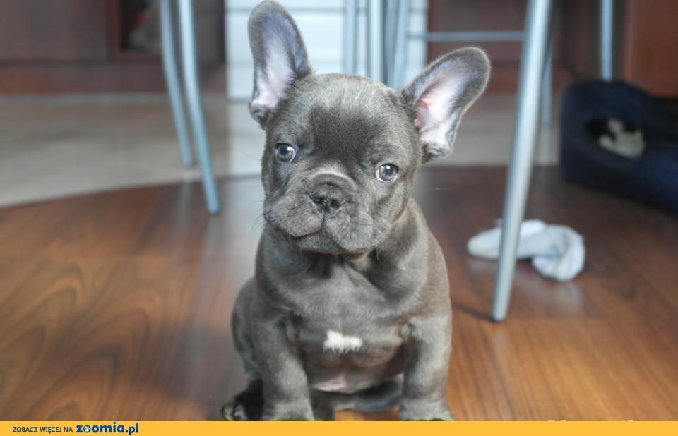 Buldog Francuski Niebieski Piesek Buldog Angielski Psy