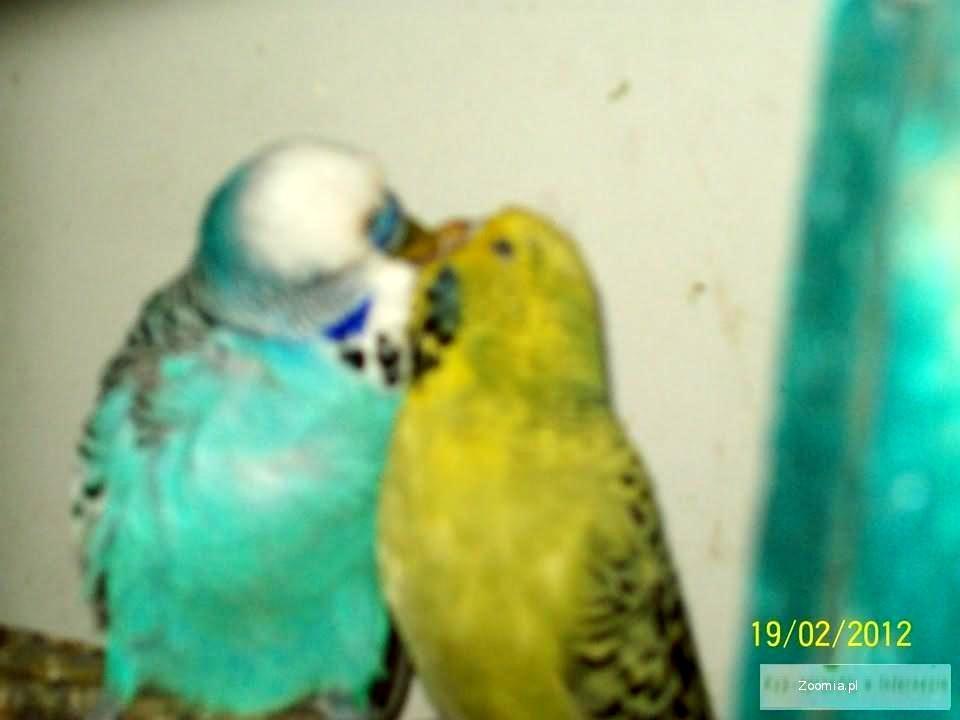 Sprzedam papugi faliste WPF wystawowe