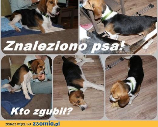 ZNALEZIONO psa beagle okolice a!,  zachodniopomorskie Szczecin