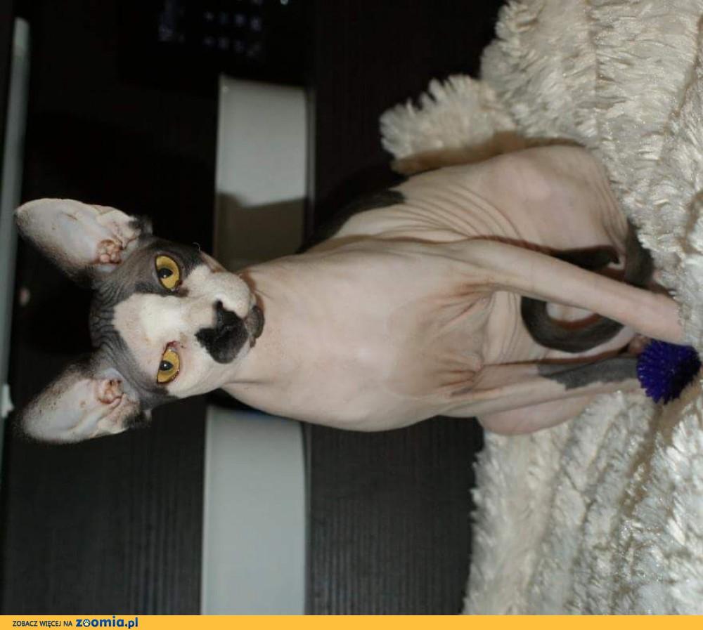 Sfinks kotka kilkuletnia