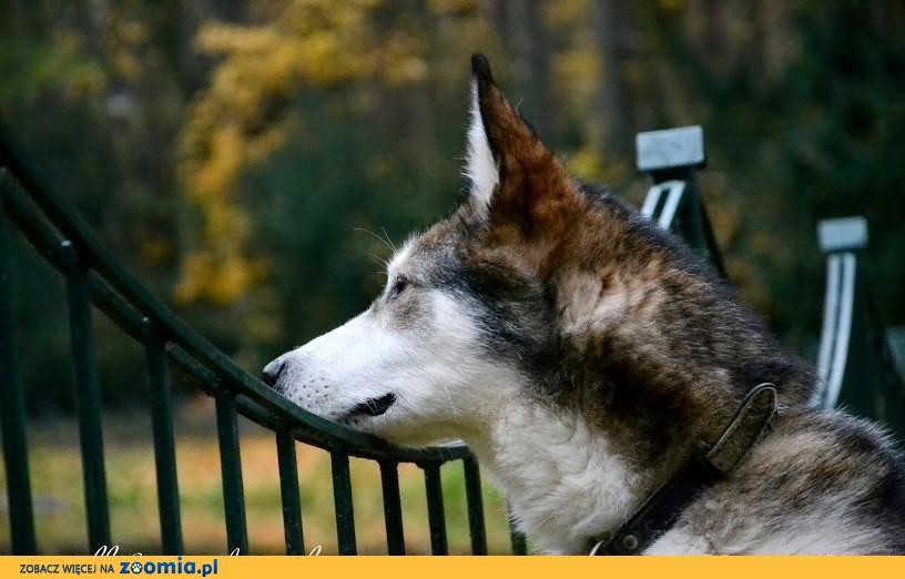 Nese w typie alaskan malamute czeka na dom w schronisku