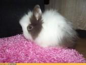 krolik króliczek,karzełek teddy czekoladowobiały