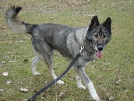 LUPUS-mix owczarek duży ważący 30 kg młody 3 letni pies kontaktowy aktywny_Adopcja_