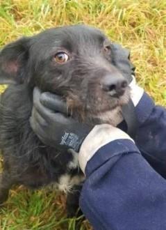 FRODO - cudowny psiak w typie sznaucera szuka domu!   mazowieckie Warszawa
