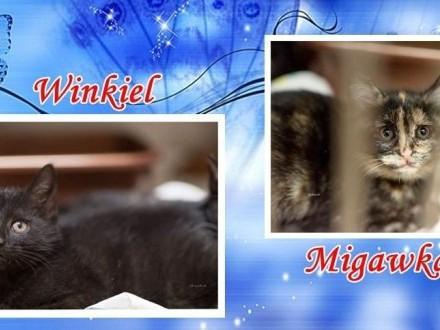 MIGAWKA i WINKIEL - magiczne kociaki z jednej rodzinnej paki  Łódź Widzew