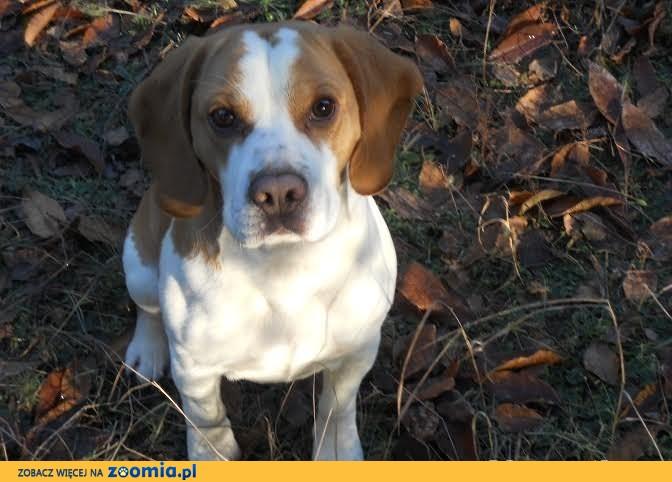 Beagle Scooby Dooby Doo szuka wspaniałego domu!