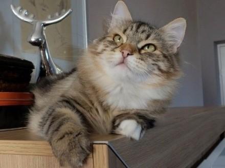 Kocięta syberyjskie - koteczka Elza z rodowodem FPL