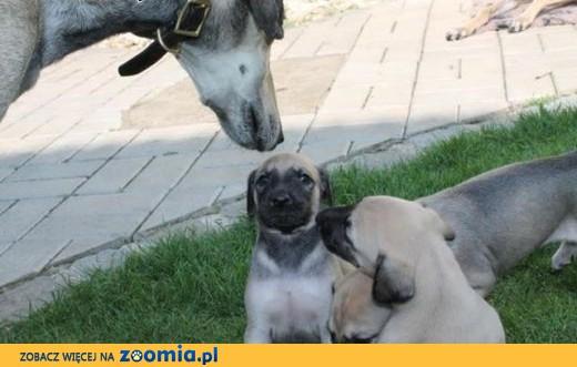 Miot Sloughi- Arabian Greyhound,  Pozostałe rasy cała Polska