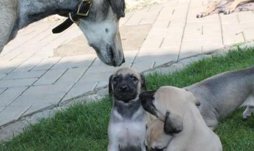 Miot Sloughi- Arabian Greyhound   Pozostałe rasy cała Polska