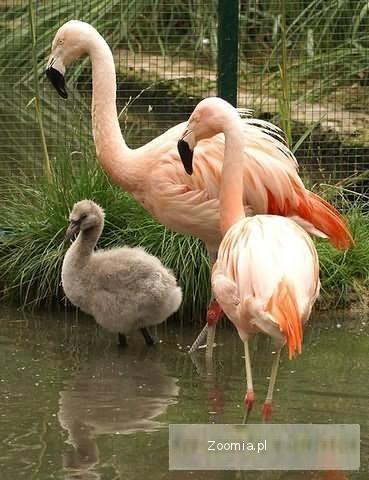 Żurawie , flamingi różne gatunki. Okazja jedyne w Polsce.