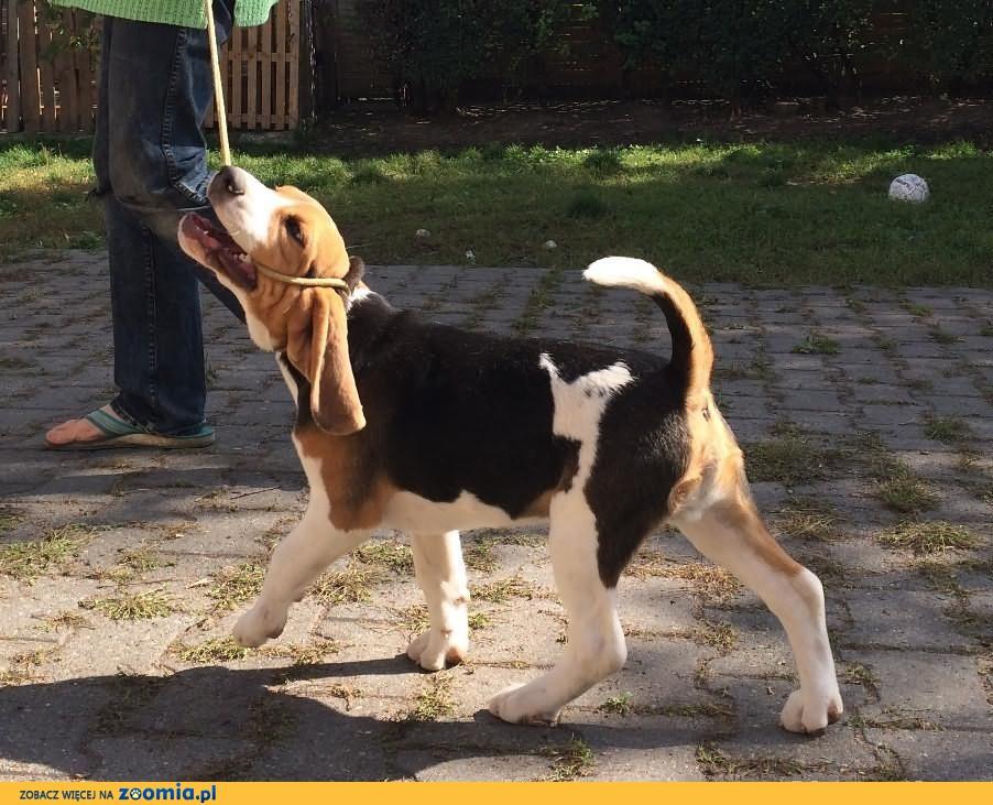 Szczenię Beagle Piesek