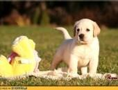 Labrador Retriever  biszkoptowe szczenięta  rodowód FCI