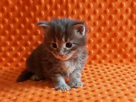 Helena - niebieska koteczka Maine Coon z rodowodem FPL