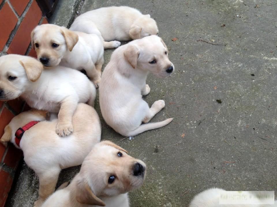 Labradory retrievery biszkoptowe z rodowodem.