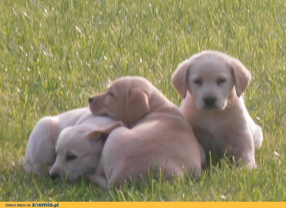 Labradory szczenięta