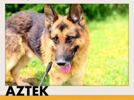 AZTEK owczarek niemduży przyjazny pies do domu z ogrodemADOPCJA   śląskie Katowice