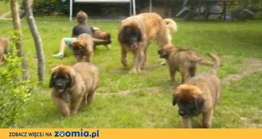 Leonberger puppies,  Pozostałe rasy cała Polska