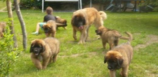 Leonberger puppies   Pozostałe rasy cała Polska