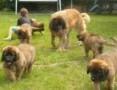 'Leonberger puppies,  Pozostałe rasy cała Polska