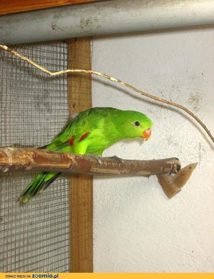 Papuga czerwonoskrzydła -samica 2011r