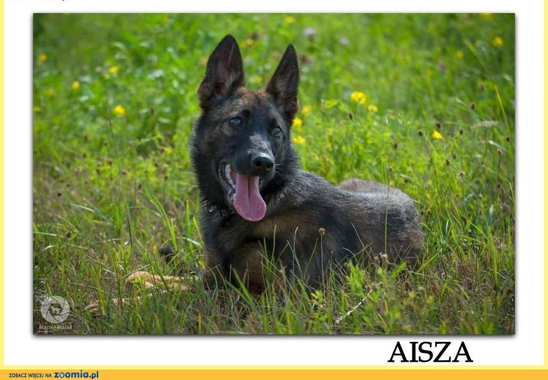 AISZA,młoda,przepiękna 6 m-cy sunia,mix owczarka niem.i belg.ADOPCJA! ,  śląskie Katowice