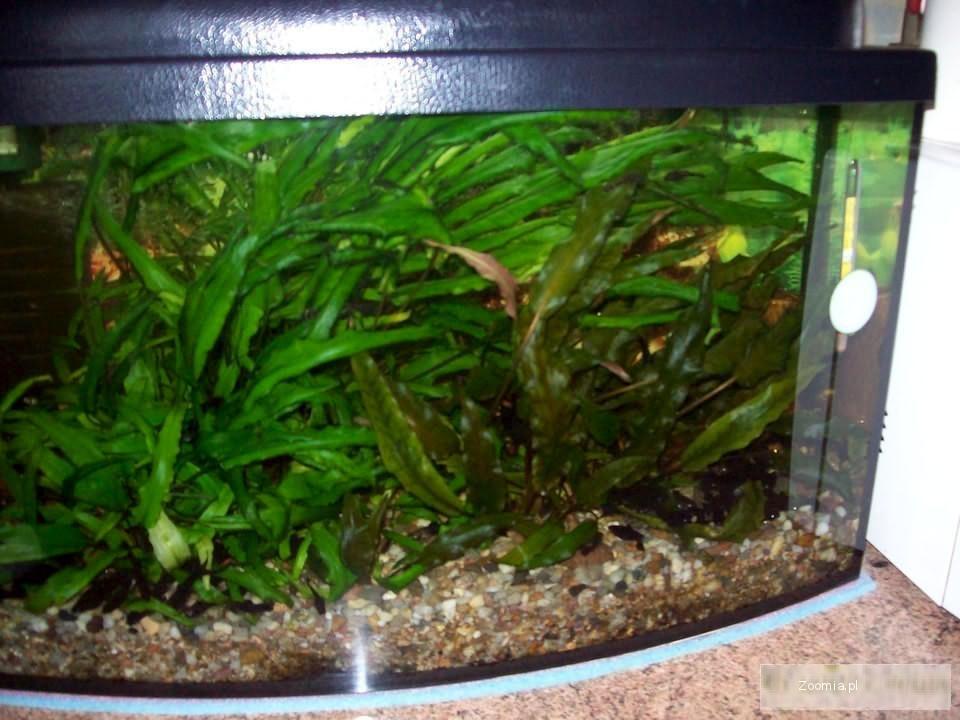 Akwarium 60l. + roślinki, filtr wewnętrzny, rybki - zestaw