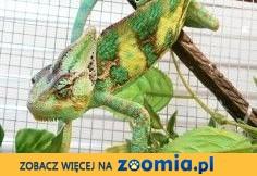 Kameleon Jemeński - Para rozpłodowa,  zachodniopomorskie Koszalin