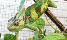 Kameleon Jemeński - Para rozpłodowa   zachodniopomorskie Koszalin