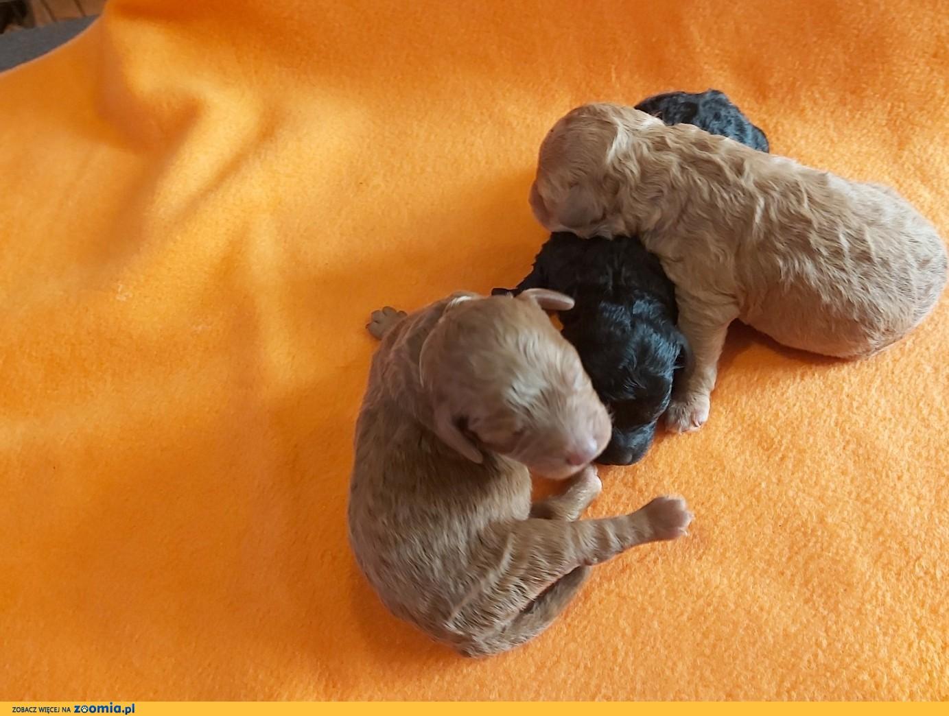 Pudel miniaturowy / toy z rodowodem ZKwP FCI
