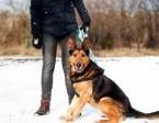 Marley piękny pies w typie owczarka