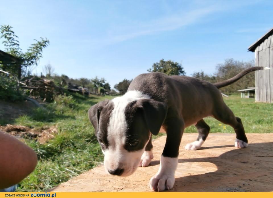 Szczenieta pitbull