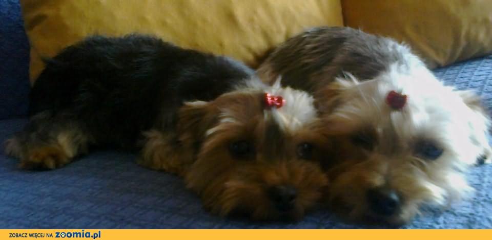 Sprzedam dwie suczki rasy yorkshire terrier.