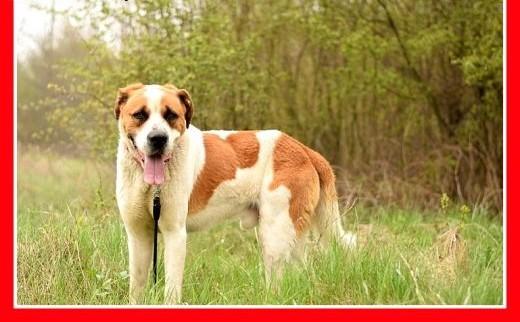 Stróżujący czujny duży młody pies bernardyn mix HELIOSAdopcja   dolnośląskie Wrocław