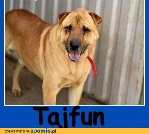 40 kg,mix shar peia,do domu z ogrodem, ,czyjny odważny pies TAJFUN.Adopcja,  dolnośląskie Wrocław