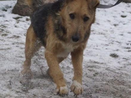 Kroniu Airedale Terrier do adopcji   Teriery cała Polska