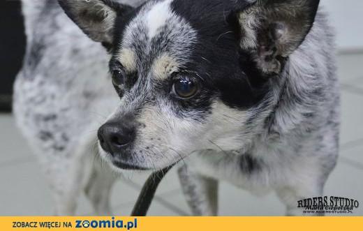 znaleziono małego psa,  dolnośląskie Karpacz
