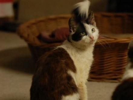 przepiękna Nesca do adopcji   Koty europejskie cała Polska