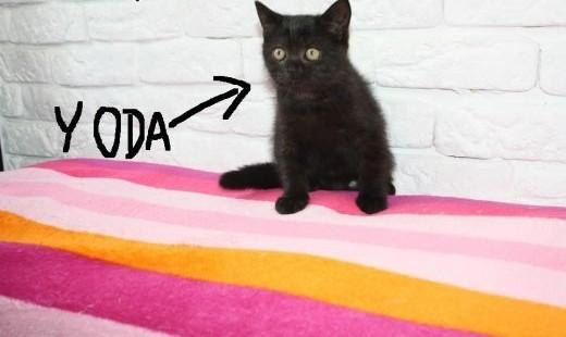 Koty Brytyjskie Brytyjski Czekolada Z Rodowodem i Czipem    śląskie Częstochowa
