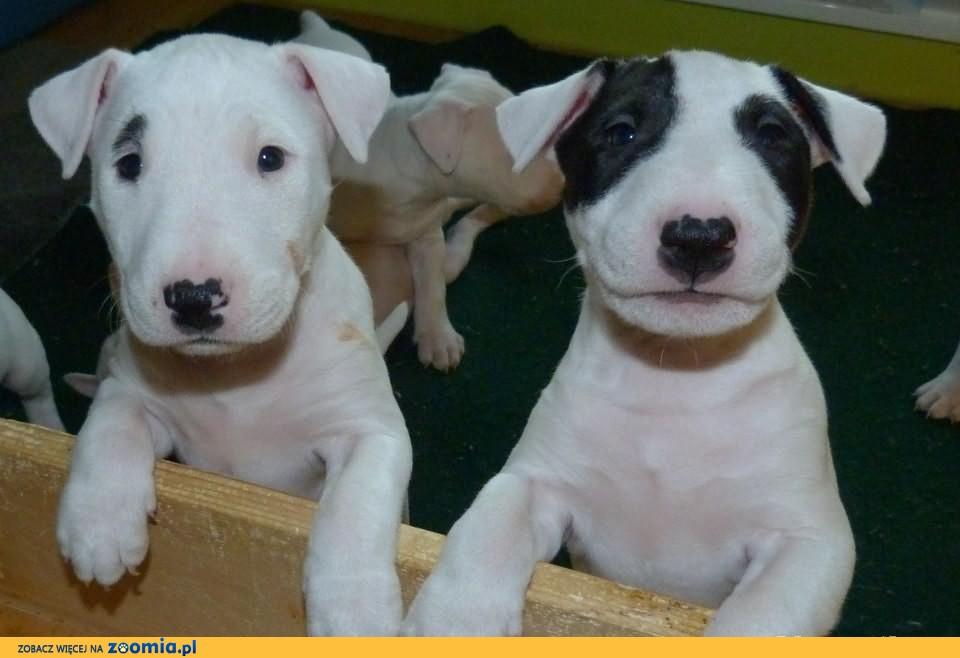 Bull Terrier szczenieta